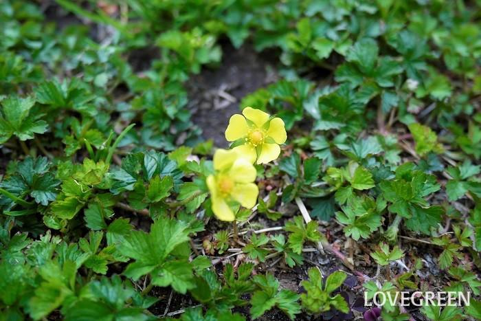 ヘビイチゴの花は春、4月~6月頃に開花します。花の色は明るい黄色、花びらは5枚、花径は1~1.5㎝程度と小ぶりです。  地面を覆うように一面に広がったイチゴの葉の間にちらちら見える黄色の小さな花は、走り寄って行きたくなるほどの可愛らしさです。