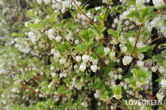 分類:落葉高木 樹高:2~5m 花期:4月~5月 ドウダンツツジはツツジ科の落葉低木です。落葉樹ですが、春の花、夏の青葉、秋の紅葉まで四季を通じて美しく、強い刈り込みにも耐えるので、生垣として好まれます。
