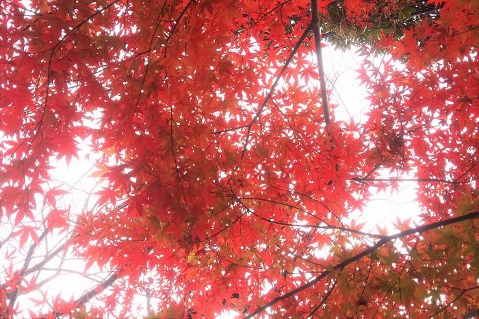 イロハモミジの葉には大きく切れ込みが入っていて、人の手のひらのような形をしています。赤ちゃんの手を「モミジのよう」と例えるのを聞いたことはありますか。イロハモミジの葉はその通り、赤ちゃんの手のひらのような形をしています。  イロハモミジの紅葉の魅力 イロハモミジは秋になると見事なくらい真赤に紅葉します。真赤に紅葉したイロハモミジの葉は、日本の秋の代名詞です。  イロハモミジの紅葉には気温が関係しています。