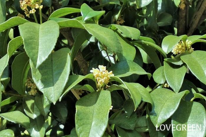 分類:常緑高木 樹高:5~6m 花期:11月 ウスギモクセイは、淡いクリーム色の花を咲かせる常緑高木です。葉や花はキンモクセイにそっくりですが、キンモクセイに比べて花の色が淡いこと、香りも弱いので区別がつきます。キンモクセイやギンモクセイと同じく常緑で、葉の密度も高いことから目隠しや生垣として好まれます。