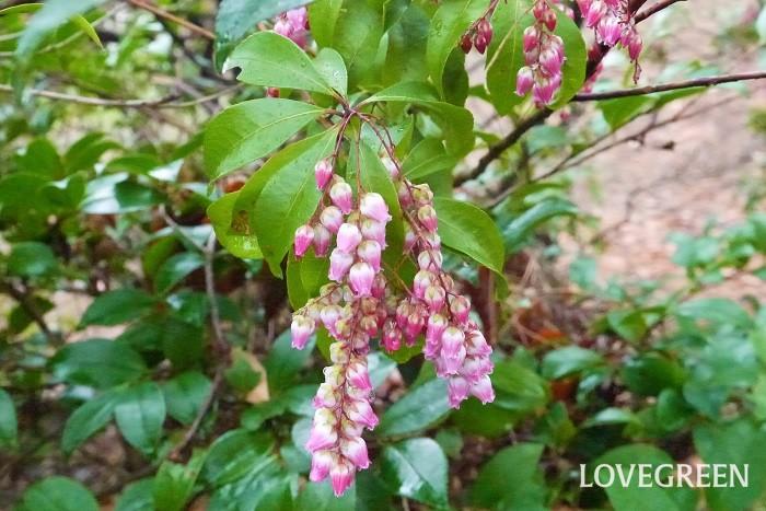 分類:常緑低木 樹高:1~3m 花期:2月~4月 アセビは小さな壺状の花をかんざしのように、下垂させて咲かせる姿が美しい庭木です。丈夫で大きくならないため、生垣として使いやすい庭木です。
