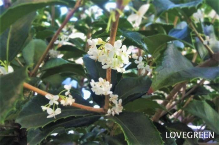 分類:常緑高木 樹高:5~6m 花期:10月 ヒイラギモクセイはキンモクセイの近縁種で、キンモクセイよりも少し遅れて香りの良い花を咲かせる常緑高木です。葉はヒイラギのようなギザギザとした葉で、小さな白い花を咲かせます。香りはキンモクセイほど強くはありませんが、常緑で葉の密度も高く、ヒイラギのような葉をしているので、防犯の役割も果たすとして生垣に好まれます。