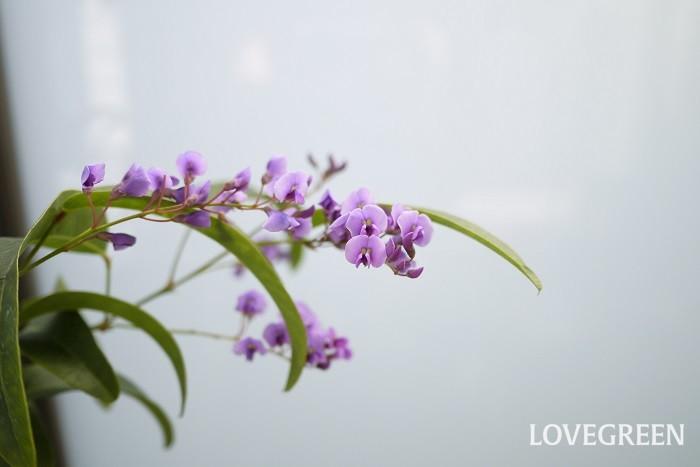 分類:常緑つる性木本 樹高:1~3m 花期:4月~5月 ハーデンベルギアは紫色の藤を小さくしたような花が美しい、常緑のつる植物です。つる植物ですが常緑であり葉の密度も高いので、フェンスやラティスに誘引させて生垣として使用できます。