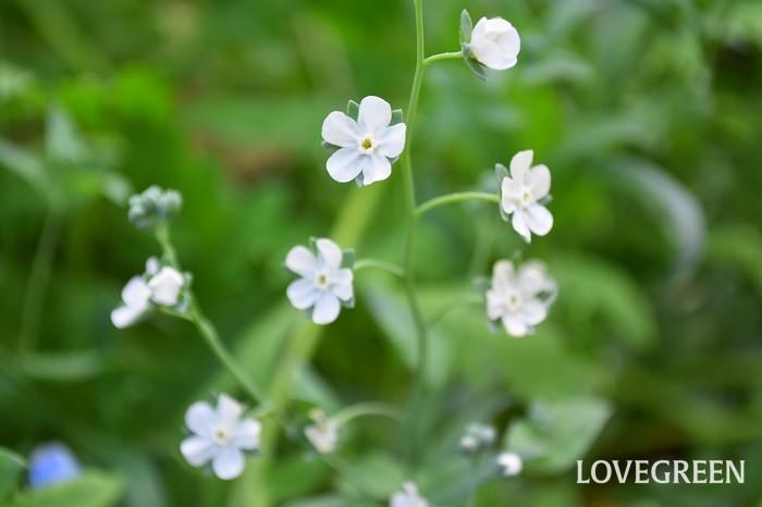 オンファロデス・リニフォリアの花は、ワスレナグサやシノグロッサムに似ています。早春から春にかけて、苗が流通しますが。種から育てることも簡単です。