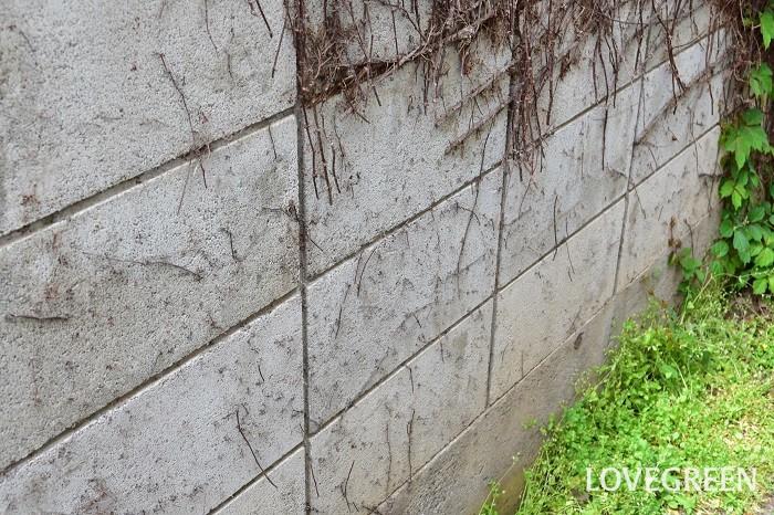 こちらはブロック塀に張り付いたツタを取り去ったあとの状態です。吸盤タイプのつる性植物は、張り付く力がとても強く、きれいに取り除くことが難しい場合が多いようです。