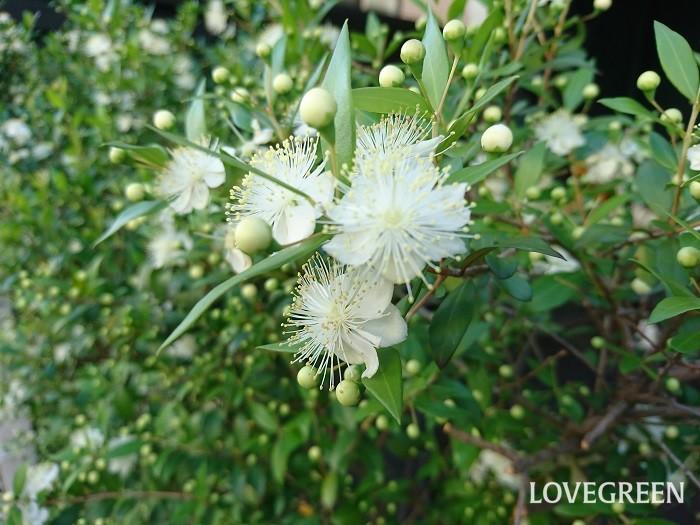 分類:常緑低木 樹高:1~3m 花期:5月~6月 マートルは地中海地方原産のフトモモ科の常緑低木です。光沢のある葉が美しい庭木です。初夏に梅に似た白い花を咲かせます。