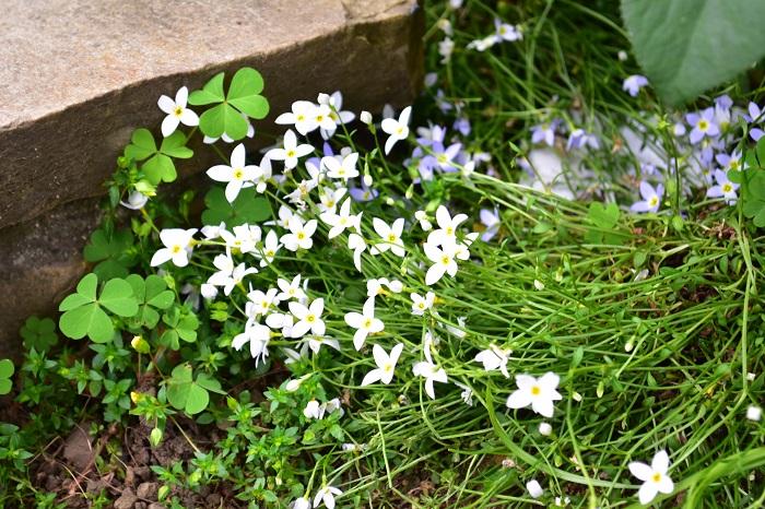 ヒナソウは春に小さな花を無数に咲かせる常緑多年草で山野草に分類されています。か弱そうに見えますが性質は丈夫な花です。環境があえば、こぼれ種で増えていきます。