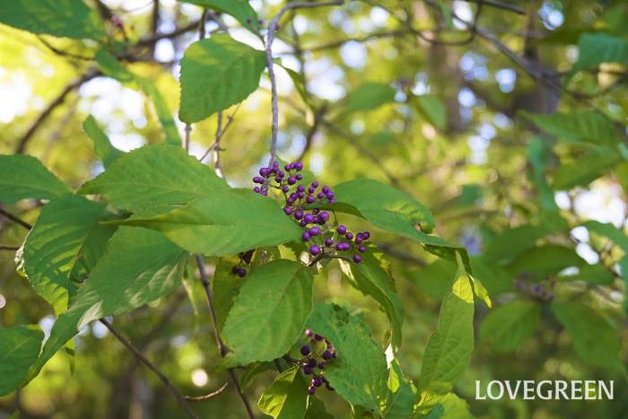 ムラサキシキブは秋に小さな粒の紫色の実を付ける落葉樹です。よく似た庭木にコムラサキがあり、ムラサキシキブに比べて、実付きがいいのが特徴です。