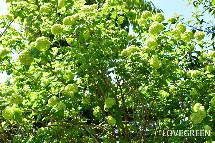 ビバーナム・スノーボールは自然樹形で楽しめて、咲き進むにしたがってグリーンから白に変化する花、紅葉など、季節の変化が感じられる素敵な庭木です。ナチュラルガーデンにおすすめのシンボルツリーです。