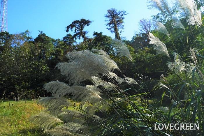 ススキ お月見にも飾られるススキは、秋を代表するような植物です。ススキだけを花瓶に飾っても良し、他の花と合わせて生けても秋の風情を感じられます。