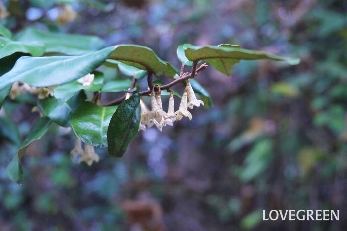 分類:常緑低木 樹高:1~3m 観賞期:5月~6月 ナワシログミは銀色がかった光沢のある葉が特徴の常緑低木です。秋に目立たない小さな花を咲かせ、翌年の春から初夏に熟します。赤く熟したナワシログミの実は柔らかく、酸味と甘みがあります。強い刈り込みにも耐えるので、生垣として利用されます。