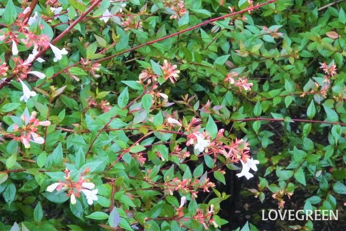 分類:常緑低木 樹高:~2m 花期:四季咲き アベリアはスイカズラ科の常緑低木です。環境が合えばほぼ四季咲きで、小さなラッパ型の花を咲かせます。アベリアの花色は白かピンクです。剪定時期をあまり選ばず、強い刈り込みにも耐える、育てやすい庭木です。