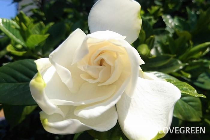 分類:常緑低木 樹高:1~2m 花期:6月~7月 クチナシは初夏にうっとりするくらい甘い香りの花を花を咲かせる常緑低木です。花色は白、一重咲きと八重咲きがあります。花径が小さなサイズの品種もあります。オオスカシバの幼虫の食害にあいやすいので注意が必要です。