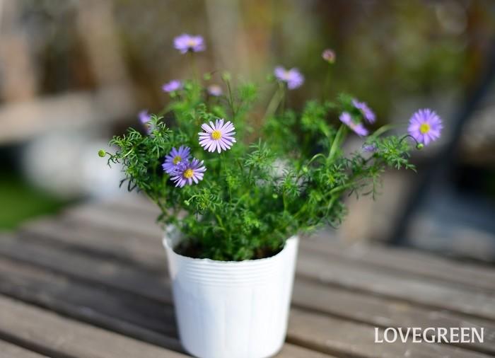 ブラキカムは4月~10月頃、デージーに似た小さな花を咲かせます。園芸種としては多年草のものが多く出回っています。日なたと水はけの良い用土を好みます。高温多湿にやや弱いですが、丈夫で病害虫の心配もそれほどありません。耐寒性はありますが、葉が繊細なので強い霜に当たらないように対策しましょう。