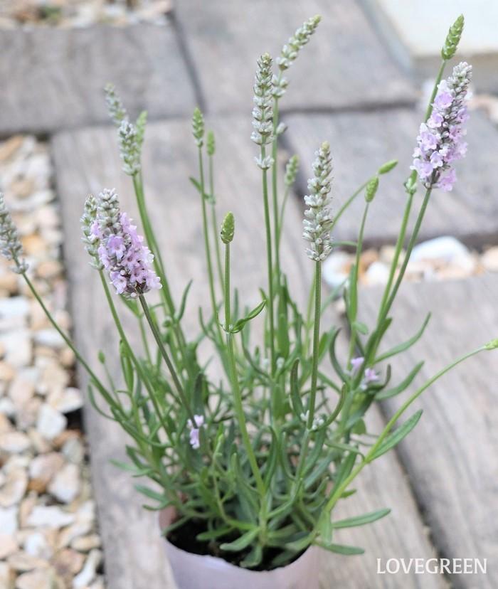 イングリッシュラベンダー(コモンラベンダー)は、寒さや乾燥に強くて、高温多湿に弱い性質があります。開花期は5月~7月頃。暖地で育てるのには不向きで、北海道のような寒冷地でよく栽培されている種です。細い花穂でシャープな草姿が美しく、香りが高いのが特徴的。ドライフラワーにも適しています。花色は紫、ピンク、白などがあります。