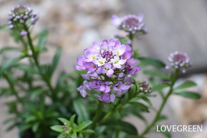 イベリスは寒さに強く、4月~6月頃に清楚で上品な花を咲かせます。紫色の品種は宝石のアメジストのような高貴な花姿。日なたと水はけの良い用土を好みます。暑さや乾燥に強く、多湿は苦手です。直根性なので移植を嫌います。植え替えるときはあまり根をくずさないようにしましょう。