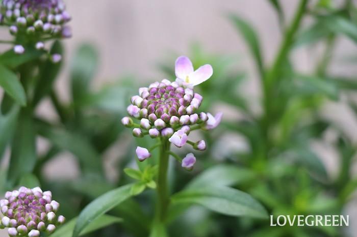 イベリスの蕾から、花びらが一枚ずつ咲きほころぶ姿もとても可愛いです。