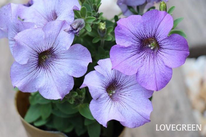 ペチュニアの花期は3月~11月頃。日なたと水はけの良い用土を好みます。花期が長く、タイミング良く剪定すると枝分かれしてたくさんの花を咲かせます。  ペチュニアは本来多年草ですが、寒さに弱いため一年草扱いされていることが多いです。暖地では霜に当たらないように注意すれば戸外で冬越しさせることもできます。