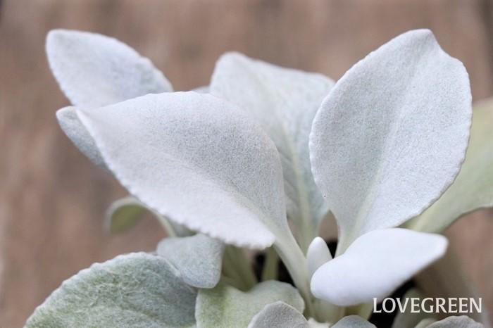 セネシオ・エンジェルスウィングスは、葉がふわふわした白い毛で覆われているカラーリーフ。さわり心地はフェルトに近い質感です。名前のとおり、まるで天使の羽のようにも見えます。  日当たりと水はけの良い用土を好みます。暑さ・寒さに強く、周年美しい葉が楽しめます。