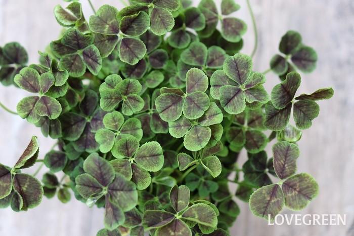 クローバーは常緑多年草です。日本で最もよく目にするクローバーは、3枚の小さな葉からなる緑色の葉の間からボール状の白い花を咲かるシロツメクサ。牧草のほか公園や河川敷きなどで芝生の代わりに使われることもあります。基本的に丈夫でよく育ちますが、暑さには若干弱い性質があります。  最近は葉色が鮮やかなものや葉に模様が入ったもの、四つ葉、七つ葉タイプなど観賞用の園芸品種が多く出回っています。