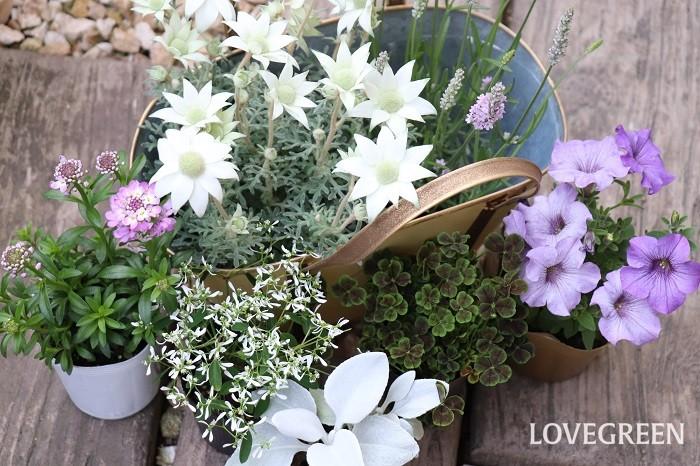 それでは、5月の寄せ植えに使いたい草花を紹介していきます。花期の長いものを使って寄せ植えを作り、上手に夏越しさせて秋までたっぷり楽しみましょう!