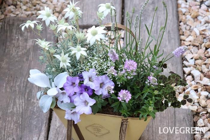 5月は1年の間で最も植物が出回る時期。初夏に咲くものや、初夏から秋まで長く咲き続ける植物も出てきます。苗がたくさん並んでいてワクワクしたり嬉しい反面、寄せ植えに何を使って良いか悩んでしまうこともあるかもしれません。そんなときは、メインに使いたい花を決め、その花に合う二番目の主役、わき役を選んでいくといいですね。  この写真の寄せ植えは、フランネルフラワーをメインに、淡いピンク色のラベンダー、ふわふわした感触のセネシオ・エンジェルスウィングス、ブルー・パープル系のペチュニア、イベリスなどを合わせています。ユーフォルビア・ダイアモンドフロストで涼しさをプラスし、四つ葉のクローバーを挿し色に使いました。  寄せ植えに使った草花  フランネルフラワー ペチュニア イングリッシュラベンダー イベリス セネシオ・エンジェルスウィングス ユーフォルビア・ダイアモンドフロスト 四つ葉のクローバー