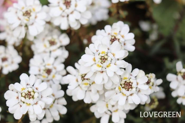 白色のイベリスは、お砂糖のお菓子のような可愛らしい花が株をおおうように咲きます。