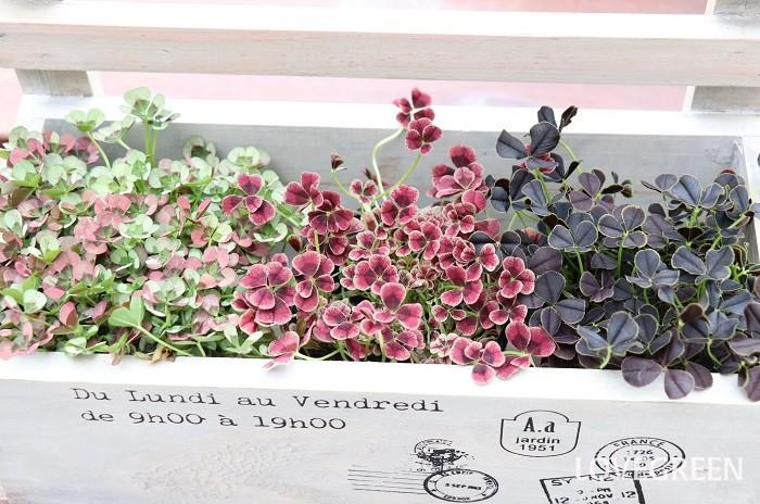 様々な色合いがあるので、選ぶのもとても楽しいです。きっとメインの花に合うとっておきのクローバーが見つけられます。