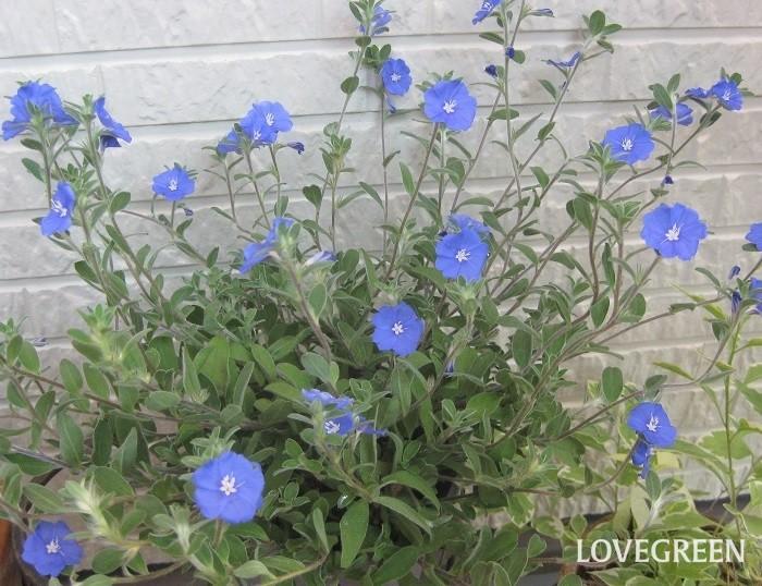 アメリカンブルーは爽やかな青い花を咲かせます。開花期は5月~10月頃。日当たりを好み、花は朝開いて夕方には閉じてしまいます。アサガオやハイビスカスと同じ一日花(朝咲いて、しぼむまでが一日の花)とも言われています。  半耐寒性なので暖地では屋外で冬越しできますが、霜に当たると枯れてしまいます。一般的には一年草として扱われています。