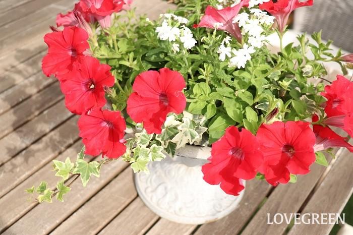 ペチュニア、サフィニアは、初夏から秋まで楽しめる花苗の代表とも言えます。長く楽しむ寄せ植えには欠かせません。花色や咲き方も様々あるので、華やかだったり、爽やかだったり、可愛いイメージやアンティーク調など、好みの苗がきっとみつかります。少し目線の高い位置に飾ると、垂れるようにこぼれ咲く美しさも楽しめます。  寄せ植えに使った草花  サフィニア バーベナ アイビー