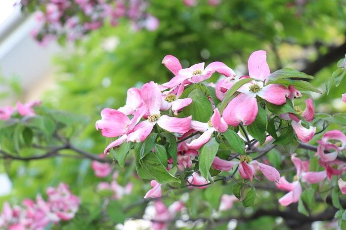 庭木は、庭で楽しむ樹木。花を楽しむ木(ハナミズキ、サクラ、アジサイなど)、実を楽しむ木(レモン、ブルーベリー  オリーブなど)、葉を楽しむ木(モミジ、ユーカリ、シマトネリコなど)、幹の美しさを楽しむ木(カエデ、ヒメシャラ、シラカバなど)様々あります。