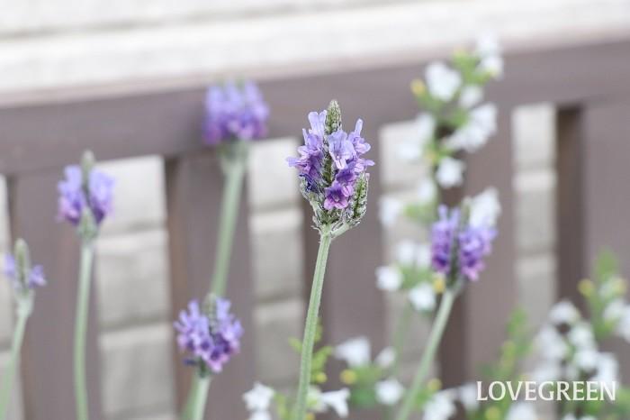 レースラベンダーは高温多湿に弱く、寒さも苦手という少しデリケートな性質ですが、上手に育てると一年を通じて長い期間花が楽しめ、毎年咲かせることができます。風通しの良い屋外の日当たりを好みますが、真夏の直射日光や梅雨の長雨に当たると傷むので明るい軒下に移動させましょう。