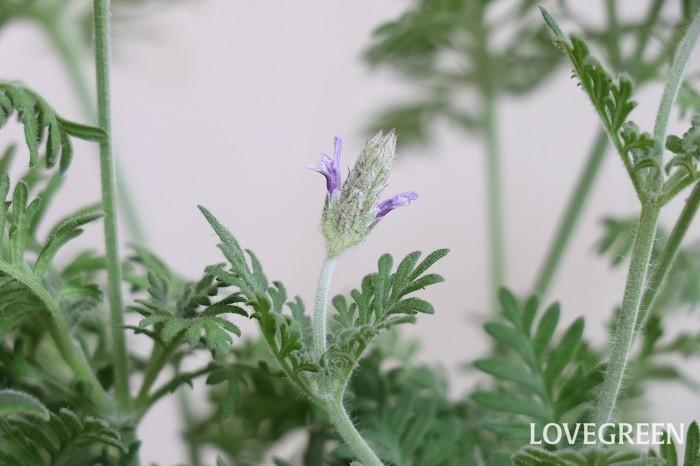 レースラベンダーは、葉にレースのような細かい切れ込みが入っているラベンダー。いわゆるラベンダーの香りはしないタイプで、花や葉の姿を楽しみます。 花期は4月~7月、9月~10月頃。四季咲きなので条件が合えば冬でも咲きます。