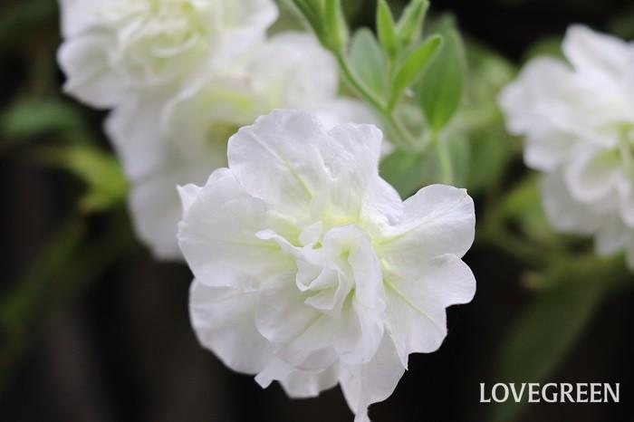 一重咲きの他、八重咲きなど咲き方も様々で、花色も豊富。花の大きさも大輪から小輪とあります。