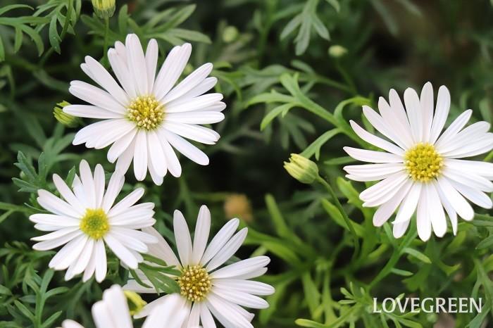 白色のブラキカムもあります。ブラキカムは寄せ植えに使うと涼し気で上品な雰囲気をプラスしてくれます。