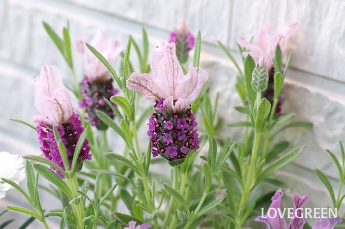 フレンチラベンダーは、暑さ寒さに強いラベンダーです。開花期は5月~7月頃。香りはやや弱く、ウサギの耳を思わせる可愛い花穂を観賞します。花色は紫系、ピンク系、ブルー系、ホワイト系などがあります。日光の良く当たる風通しの良い場所を好みます。梅雨の長雨は苦手です。花後に切り戻して風通し良く育てましょう。