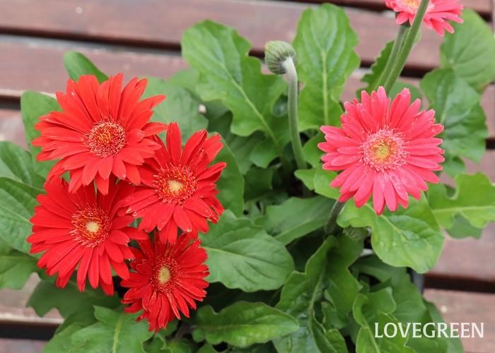 ガーデンガーベラは、普通のガーベラに比べて暑さや寒さ、病害虫にも強く改良された品種です。寒さにはマイナス5℃まで耐えられるので、東京以西では屋外で越冬することができます。宿根ガーベラとも言います。冬には地上部分は若干葉が残る程度で生長が止まりますが、春には新芽が出て再び花を咲かせます。開花期は4月~11月頃。花色は赤や黄色、オレンジ、ピンク、白などがあります。