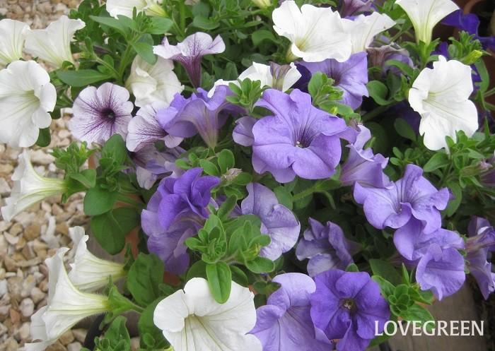 サフィニアは4月~10月頃、波打つようにたくさんの花を咲かせます。横に広がって生長し、ふんわりと豪華にあふれるように咲きます。花色は白、ピンク、紫、青、黄色など様々あります。  サフィニアはペチュニアの改良品種。ペチュニアの長期間咲き続ける良さを引き継ぎ、雨に弱い弱点を改良してより育てやすくなりました。英語のSurfing(サーフィン)とPetunia(ペチュニア)を合わせて名付けられています。梅雨前に切り戻しをすると状態良く夏越しでき、秋まで美しく咲き続けます。  サフィニアは日なたと水はけの良い用土を好みます。暖地以外では屋外で越冬することが難しく、一年草扱いされていることが多いです。