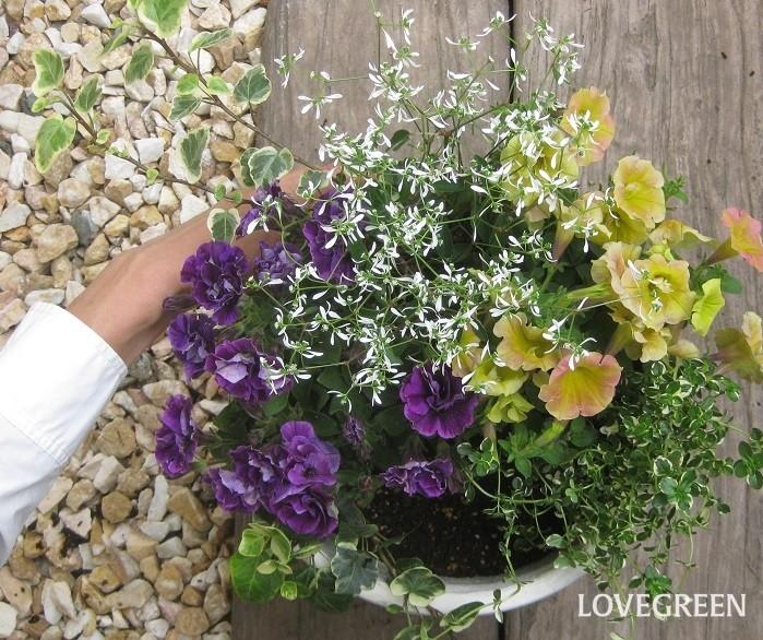 ユーフォルビア・ダイアモンドフロストは、切り花で言えばカスミソウのような存在。寄せ植えに使うとどんな花とも合い、メインの花を引き立たせ、爽やかさを演出してくれる名わき役です。