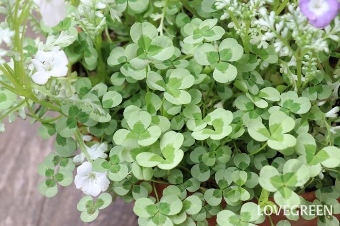 クローバーはふんわりと生長し、寄せ植えのアクセントにぴったりです。ライム色を選ぶと爽やかに仕上がります。夏場は涼しい半日陰で管理すると状態良く育ちます。