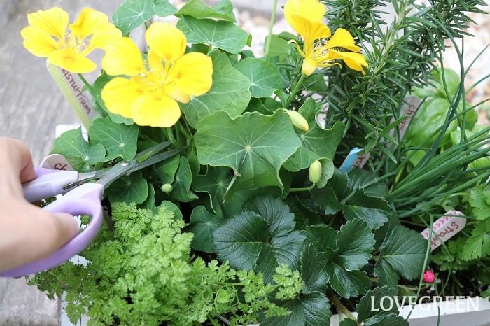 寄せ植えにしたハーブは狭い鉢の中で育ちます。風通しを良くするためにも、ちょこちょこ収穫して楽しく活用しましょう!収穫すると、わき芽が増えたりさらに生長の勢いが増します。