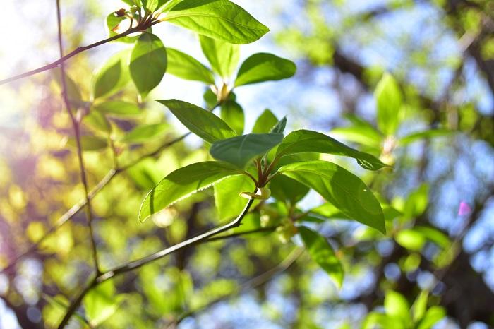 クロモジ(黒文字)の楚々とした雰囲気は、和風の庭やナチュラルガーデン、雑木風の庭に相性が良い樹木です。クロモジ(黒文字)の枝は切り花としても流通していて、生け花やフラワーアレンジの花材としても使われます。派手さはありませんが、若葉、青葉、花、紅葉と見どころのある樹木です。