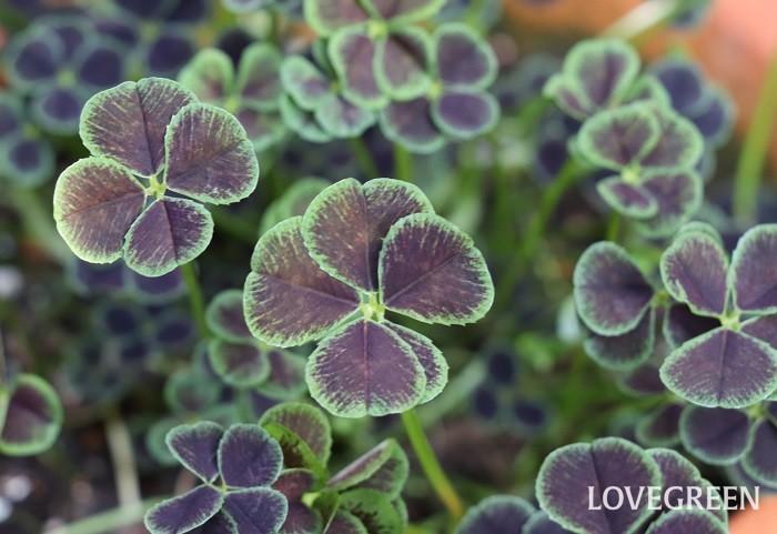 カラーリーフ(カラーリーフプランツ)は、緑色以外の葉色をした植物の総称。赤、紫、銅葉(ブロンズ)、黄色(ライム)、銀色(シルバー)、白、斑入りの葉など様々な美しい色の葉があります。花が咲くカラーリーフプランツもありますが、花よりも葉色を楽しむために使われているものが多いです。