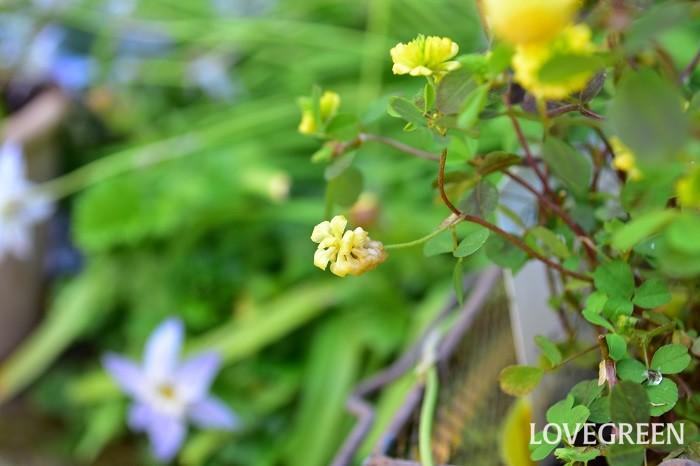 花の終わりごろの形がビールの原材料のホップに似ていることから「ホップツメクサ」と呼ばれることもあります。東京だと主な開花期間は春から初夏ですが、四季咲き性があるため、花が一通り終わったら切り戻しをしておくと、秋にまた開花することがあります。這うように生長するので、グラウンドカバーとして使うこともできる他、寄せ植えやハンギングの材料としても人気があります。