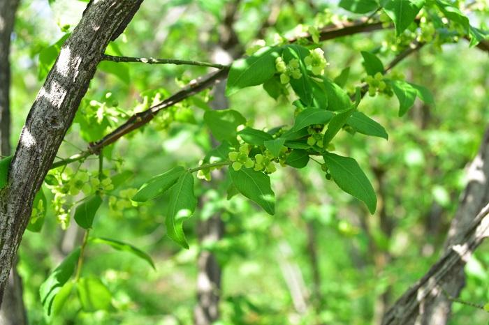 ニシキギ(錦木)の花は、春から初夏に淡い黄緑色の小さな花が開花します。