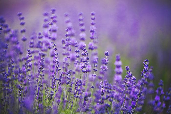 ハーブは花や葉、茎、根、種などが料理の香り付けや、保存料、薬、香料、防虫などに活用できる植物のことです。ラベンダー、ローズマリー、ミントなどがあります。