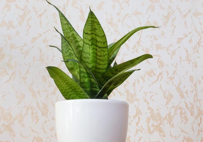 植物は、光合成をするときに二酸化炭素を吸収して酸素を生み出しています。サンセベリア、ポトス、スパティフィラムなどは人間にとって有害な物質を吸収して分解する働きがあると言われ、エコプラントと呼ばれています。