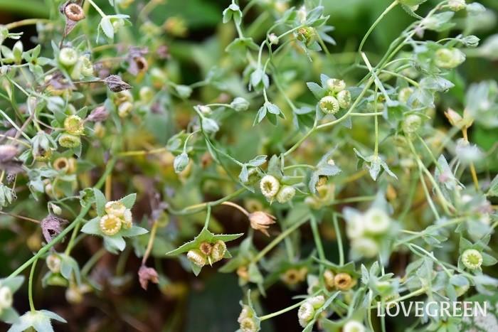 こちらはオンファロデス・リニフォリアの種です。花がらを摘まないでおくと、このような種ができます。種の形はとてもユニーク。中央がくぼんだ形をしています。