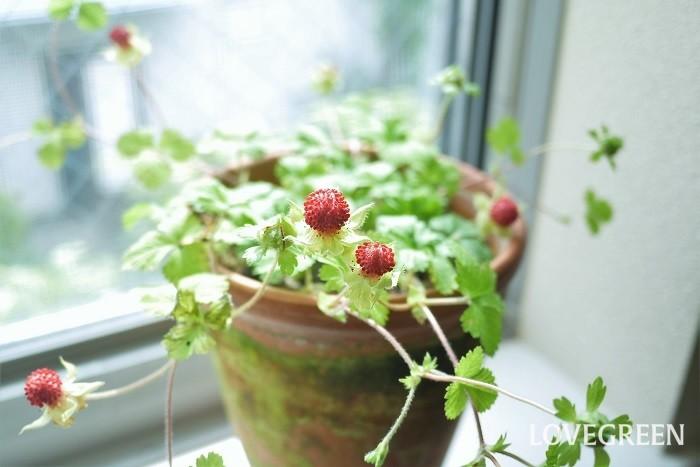 ヘビイチゴは鉢植えでも育てられる!