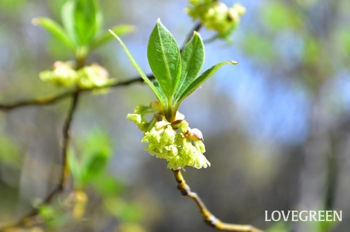 クロモジ(黒文字)の花は、3月~4月に淡い黄色の小さな花が開花します。雌雄異株で花には雄花と雌花があります。芽吹いた若葉の下に、複数の花がぶら下がるように咲くので、注意して見ないと見逃してしまう小さな花ですが、若葉の緑の冠の下で楚々として咲く姿は愛らしさがあります。花の開花後には緑色の実がなり、秋に黒く熟します。
